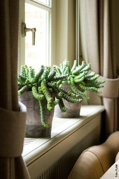 Vijver en Tuincentrum Pelckmans: Crassula Hottentot