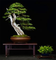 "Thuya Occidentalis, Native tree from Kamouraska, Québec, Canada. ""Yamadori"" - By Brian Donnelly."