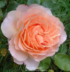 Photo of Rose (Rosa 'Tamora') uploaded by zuzu
