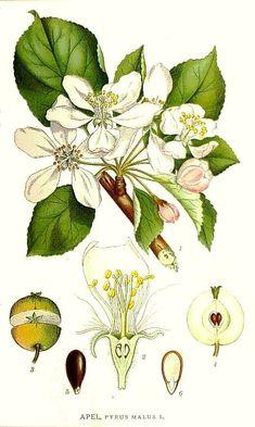 Pyrus malus (apple)