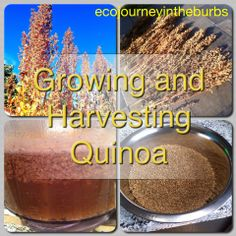 Eco Journey in the Burbs: Growing and Harvesting Quinoa