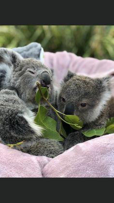 Cute Creatures, Beautiful Creatures, Animals Beautiful, Koala Bears, Baby Koala, Happy Animals, Cute Funny Animals, Koala Marsupial, Australia Animals