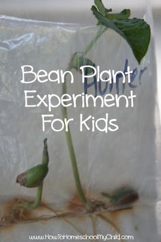 easy bean plant experiment for kids - learn roots, stems, leaves, etc