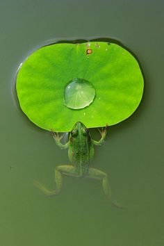 green.quenalbertini: Green shades, coquita