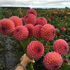 Dahlias are popular flowers in many a temperate garden, and exist in many cultivars. Learn how to grow dahlia plants so you can obtain the best blooms. Cut Flower Garden, Flower Farm, Flower Beds, Flower Gardening, Cut Flowers, Spring Flowers, Beautiful Flowers, Growing Dahlias, Popular Flowers