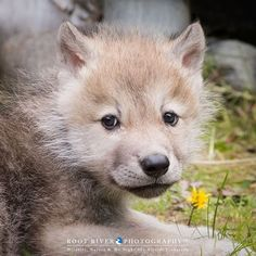 Arctic Wolf Pup at the International Wolf Center in Ely, MN. Animals Beautiful, Cute Animals, Wolf World, Baby Wolves, Arctic Wolf, Wolf Stuff, Wolf Pup, Little Fox, Closer To Nature