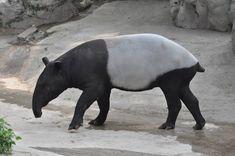 Malayan Tapir / Tapirus indicus. Beijing Zoo