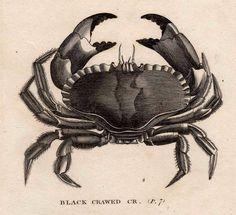 1803 sea life original antique engraving - black crawed crab