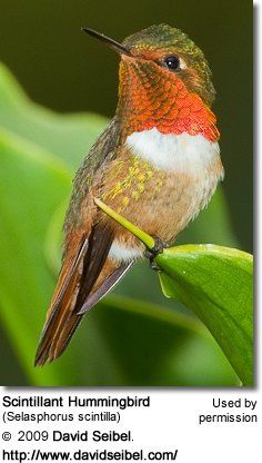 Hummingbird Information   The Scintillant Hummingbird (Selasphorus scintilla) is a Central American hummingbird that occurs naturally only in the mountains of Costa Rica and western Panama, where