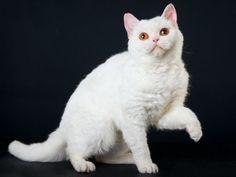 Selkirk Rex: Eine seltene Lockenkatze - Seite 10 Selkirk Rex, Devon Rex Katzen, Devon Rex Cats, All About Cats, Albino, Poodle, My Best Friend, Kittens, Animals