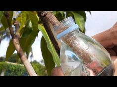 New Method Reinforcing air layer with water on mango tree The process are really simple and similar to the one that use other growth medium. Fruit Plants, Water Plants, Fruit Trees, Mango Plant, Grafting Plants, Air Layering, Mango Tree, Citrus Trees, Indoor Flowers