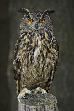 Eagle Owl - This european eagle owl was photographed at Omega Park near… Beautiful Owl, Animals Beautiful, Cute Animals, Owl Photos, Owl Pictures, Owl Bird, Pet Birds, Owl Artwork, Great Horned Owl