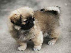 Pekingese- Hana needs a sibling....