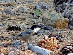 #CyprusBirdingTours photo of #CoalTit, #Cyprus endemic sub-species, #Troodos - 9 November. Further info about guided bird-watching: www.cyprusbirdingtours.com. Reshared by Nikki at www.pissouribay.com.