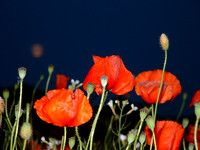 poppies by moonlight