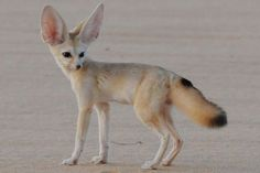 fennec fox full grown - Google Search   Current projects 3 ...