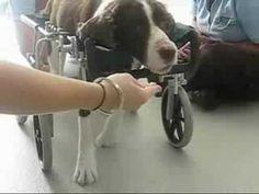Quadriplegic Pup learns to run. It feels like being hugged in the heart, this is wonderful true dedication. Paralyzed Dog, Quadriplegic, Learn To Run, English Springer Spaniel, Good Buddy, Dog Walking, My Animal, Puppy Love, In This World