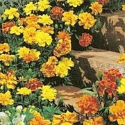 Tagetes patula 'Safari' (French marigold 'Safari') Click image to learn more, add to your lists and get care advice reminders  each month.