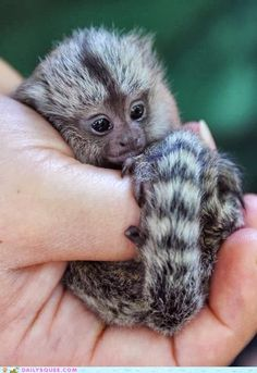Squeeee!  The smallest monkey in the world - the Pygmy Marmoset!