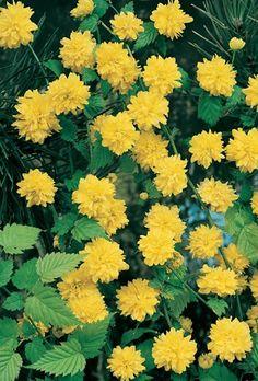 Kerria Japonica Pleniflora-