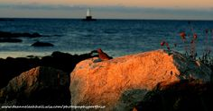 Pink Sunrise and Ocean, Dawn and Red Morning Dove, New England Lighthouse, Bird on Boulder Digital Download Screensaver Wallpaper Background