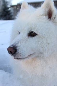 Looks so much like our old Samoyed Tasha