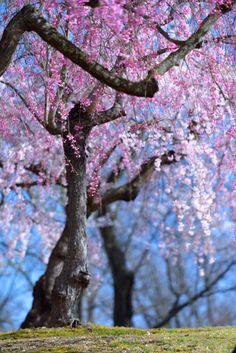sakura Cherry Blossom Tree, Cherry Tree, Love Flowers, Beautiful Flowers, Spring Blossom, Flowering Trees, Amazing Nature, Nature Photos, Mother Nature