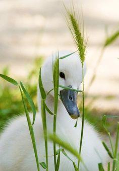 Cute baby animals Duckling in the flower garden Cygnet , baby swan Pretty Birds, Love Birds, Beautiful Birds, Animals Beautiful, Beautiful Swan, Pretty Baby, Farm Animals, Animals And Pets, Cute Animals