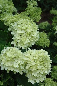 Little Lime Hydrangea (Hydrangea paniculata 'Little Lime') at Connon Nurseries CBV