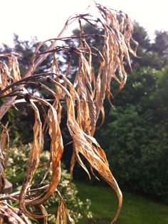 Flax frond