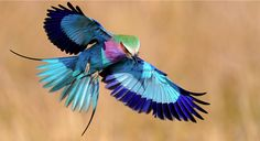 Lilac-Breasted Roller; he gets his name from an impressive courtship flight that dives in short bursts and motions, accompanied by loud noises!