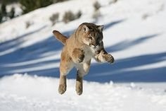 Full grown mountain lions require 8 to 10 pounds of meat per day to survive.