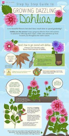 Planting Dahlias Perfectly - An Infographic! - Dahlia Planting Infographic with step by by step information - Planting Dahlias, Growing Dahlias, Fall Planting Flowers, Cut Flower Garden, Flower Farm, Flower Gardening, Flower Beds, Garden Plants, Shade Garden