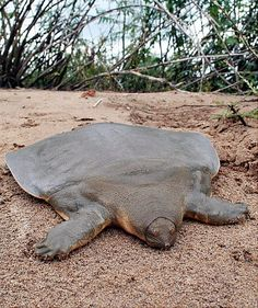 A rare soft-shell turtle, once thought to be on the brink of extinction, is seen in Cambodia May 2007.  by Conservation International/AP