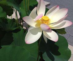 water lily @new york botanical gardens Photo by Nitza Shawriyeh