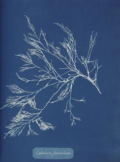 Anna Atkins' Cyanotypes