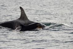 This little face melts my heart: J53 with presumed mom Princess Angeline