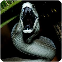 Black mamba a very beautiful but extremely poisonous snake if bitten death will happen in under 20 minutes