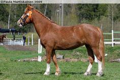 Estonian Native / Klepper - mare Assa
