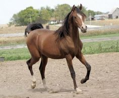 Unforgettable Fame by *Rough Justice x Madam Mouselle http://www.valiantarabians.com/sales/sold-horses/