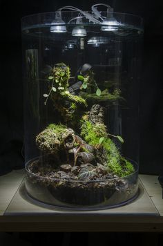 "This is a 14""x20"" (35.6cm x 51cm) Ecuadorian biotope cylindrical vivarium - sometimes referred to as a nano vivarium or an orchid cabinet. It's made from 1/32"" polycarbonate sheet (Makrolon) with a a 1/4""x16""x16"" base. The subject piece is composed of one large and one small Hygrolon liana, along with a few small pieces of cork bark. Lighting is supplied via three 6W CREE LED spotlights. So far the moss and Peperomia growth has been good, but I..."