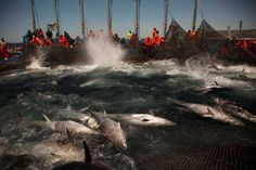 Atlantic bluefin tuna are corralled by fishing nets during the opening of the…