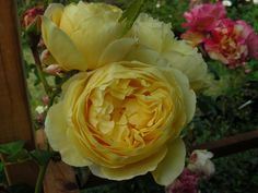 Charlotte David Austin rose added to my garden summer 2016 (Pesches container plant)