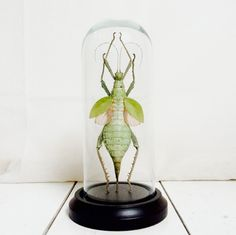 Stick insect Glass Dome