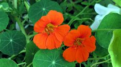 Tropaeolum is commonly known as Nasturtium, it is an annual and perennial herbaceous flower plant. This is a normal plant, whose flowers and leaves are edible...read..