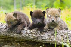 3 little wolf pups, sittin' in a tree...