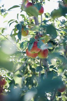 Apple tree - photo by Nikole Herriott Terre Nature, Pyrus, Apple Orchard, Apple Farm, Apple Harvest, Scenic Photography, Food Photography, Fruit Garden, Fruit Art