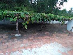 Fashion fruit plantation on terrace😉😃