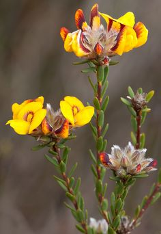 Almaleea subumbellata - Wiry Bushpea