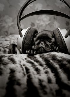 Looks like someone's all p-l-ugged in :) #pug #cute #pet #dog #puppy #headphones #animals #music